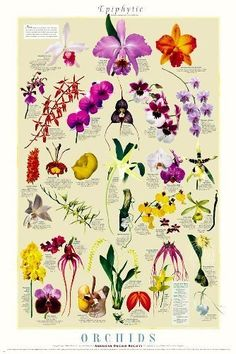 Posters - Full color 24 X 36 inch Epiphytic Orchids Poster illustrating the different types of Orchids, Short descriptions. Orchid Pot, Orchid Plants, Orchid Flowers, Art Flowers, Exotic Flowers, Air Plants, Arrangements Ikebana, Flower Arrangements, Types Of Orchids