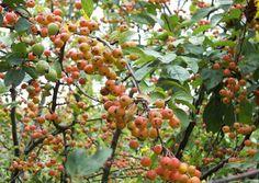Malus x zumi Professor Sprenger Fruit, Professor, Products, Teacher, Gadget
