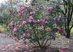 Image result for camellia tree Backyard Plants, Backyard Landscaping, Camellia Tree, Evergreen, Landscape, Inspiration, Image, Apartment Therapy, Design