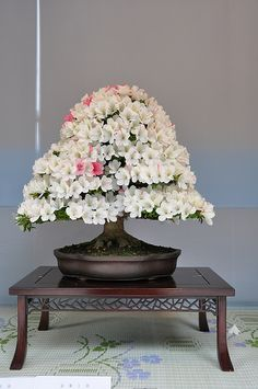 Indoor Bonsai, Bonsai Plants, Bonsai Garden, Bonsai Trees, Ikebana, Bonsai Azalea, White Azalea, Bonsai Tree Types, Gardens