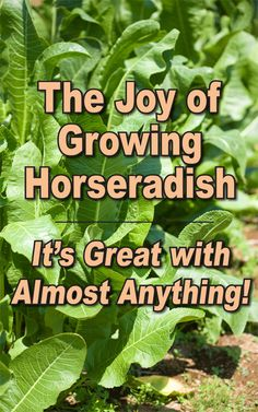 The Joy of Growing Horseradish (It's Great With Almost Anything!) Organic Compost, Organic Farming, Organic Gardening, Gardening Tips, Vegetable Gardening, Growing Horseradish, Horseradish Recipes, Horseradish Sauce, Garden Pests