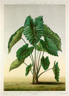 Colocasia Bataviensis -- Trees and Leaves -- RHS Prints
