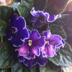 Beautiful African violets
