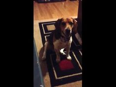 Elliot the Beagle Begging-No Shame for Him