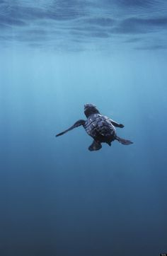 sea turtle - baby honu