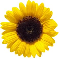 Find Beautiful Fresh Yellow Sunflower Flower Closeup stock images in HD and millions of other royalty-free stock photos, illustrations and vectors in the Shutterstock collection. Sunflower Clipart, Sunflower Garden, Sunflower Flower, Yellow Sunflower, Sunflower Wreaths, Cavachon Puppies, Cute Puppies, Sunflower Birthday Parties, Birthday Celebration