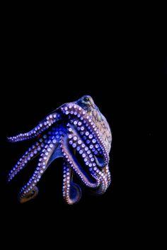 Love me some octopus Kraken Octopus, Octopus Squid, Octopus Art, Underwater Creatures, Ocean Creatures, Underwater World, Medusa, Salt Water Fish, Water Animals
