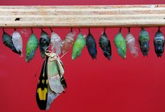 A butterfly emerges from a cocoon at the Butterfly Explorers exhibition at the Natural History Museum, London