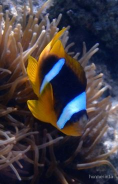 Red Sea Anemonefish Photographed in the Red Sea. #Phonecover #phonedecor #christmasgifts