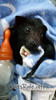 """I've finished"" Rehab megabat flying fox black male baby Lost mum"