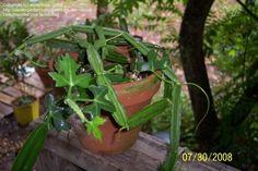 PlantFiles Pictures: Veldt Grape (Cissus quadrangularis) by wormfood