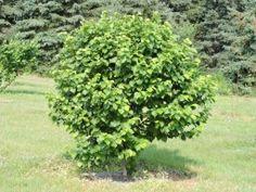 Можно ли заставить гектар сада фундука давать более 10 тонн ореха?