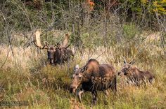 This is one of a million reasons I love nature photography!!! #moose #family #algonquinpark @ontarioparks #three #autumn #rut