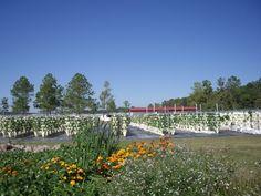 U-Pick Farm Hours of operation are Thursday-Sunday, 9 am -4 pm. Email us & ask to be put on our harvest hotline list, to receive notifications of specials. Come early. Food tastes better when harvested in the morning! Bring sun screen, a big floppy hat, sunglasses and something to drink. Wear smart shoes. This is a farm, and the ground is uneven. When it rains, it means puddles. Bring a jacket just in case. The wind can be strong at times. Bring your biggest smile, and we'll provide the fun!