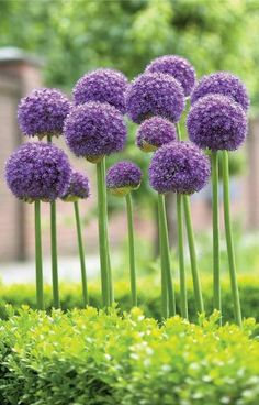 Flower Gardening For Beginners Allium Gladiator - Longfield Gardens - Allium Gladiator. Decorate your early summer garden with these big, rose-violet balls of color. The 6 Allium Flowers, Planting Flowers, Plants, Beautiful Flowers, Allium Giganteum, Perennials, Flowers, Flower Seeds, Longfield Gardens