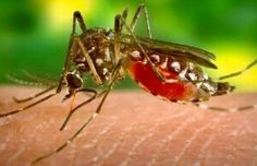 The number of Dengue cases in Mysuru district is increasing day by day. Even though the district administration took so many measures to control dengue disease, people are worried. No the mosquito bats and papaya fruit have so much demand in the city. Treatment For Mosquito Bites, Remedies For Mosquito Bites, Zika Virus, Home Remedies, Natural Remedies, Mosquitos Da Dengue, Kill Mosquitoes, Lemon Eucalyptus Oil, Dengue Fever