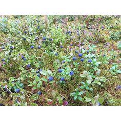 【hokuo_seikatsu】さんのInstagramをピンしています。 《今年はビルベリーが豊作✨ 森では辺り一面にビルベリーが実っています! #hokuoseikatsu #scandinavia #nordic #sweden #bilberry #blueberry #forest #nature #summer #travel #sightseeing #北欧 #北欧生活 #スウェーデン #ビルベリー #ブルーベリー #森 #観光 #旅 #旅行 #夏》