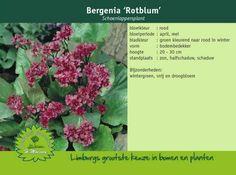 Schoenlappersplant - Bergenia 'Rotblum'