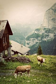 mountains and cows