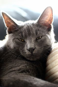 Pictures of Russian Blue Cat Breed