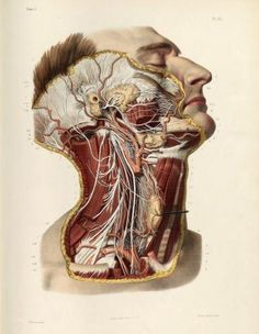 Dissection of the head and neck, cranial, spinal and sympathetic nerves. Lithograph with hand-colouring by Nicolas Henri Jacob from 'Traité complet de l'anatomie de l'homme' by Jean-Baptiste Marc Bourgery, 1831. ~~ www.facebook.com/TheIrregularAnatomist ~~ www.twitter.com/Irr_Anatomist