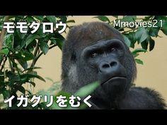 Gorilla eat the chestnuts イガグリを剥いて食べるゴリラ モモタロウ