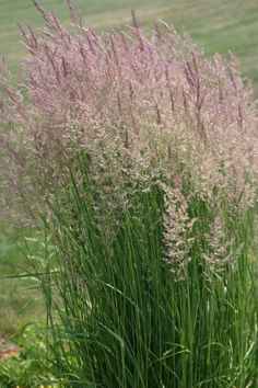 Pink Muhly Grass ... in stock now! Very pretty, drought tolerant ornamental grass.