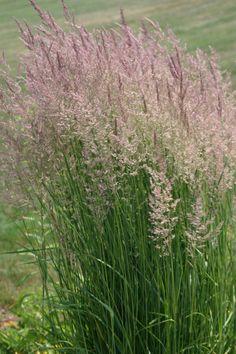 Ornamental grasses identification ornamental grasses pinterest very pretty drought tolerant ornamental grass workwithnaturefo