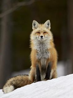 Red Fox (Vulpes vulpes) (Vulpes fulva) in the snow, Grand Teton National Park, Wyoming, United. Animals And Pets, Baby Animals, Cute Animals, Wild Animals, Wolf Hybrid, Fox Pictures, Maned Wolf, Fox Face, Pet Fox