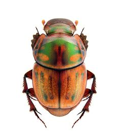 Onthophagus obliquus