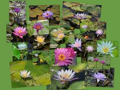 Water Lilies Collage 3