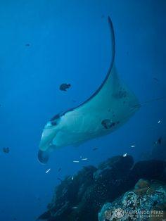 Mantarraya o Manta Gigante. Se trata de la más grande de las rayas y puede llegar a medir 8 metros y pesar 1500 Kg. Normalmente habitan mares con aguas templadas y únicamente se alimentan de plancton. La gran diferencia con otras especies de la misma orden es que carecen de aguijón venenoso en la cola.