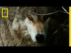 In-depth Wolf Symbolism & Wolf Meanings! Wolf as a Spirit, Totem, & Power Animal. Plus, Wolf in Celtic & Native American Symbols & Wolf Dreams! Wild Animals Attack, Animal Attack, Wolf Images, Wolf Pictures, Wolf Symbolism, Of Wolf And Man, Power Animal, She Wolf, Wolf Spirit