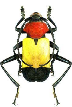 Euryclelia cardinalis