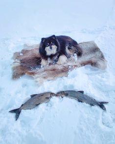 """279 tykkäystä, 1 kommenttia - Äijä-koira (@aijakoira) Instagramissa: """"Pilkkihommia 👍 Isännälle lupasin toisen siian 🐻🐟🐟 #kahenkilonsiika #pilkkihullut #äijäkoira…"""" Husky, Dogs, Animals, Instagram, Animales, Animaux, Pet Dogs, Doggies, Animal"""