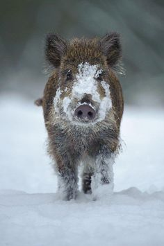 Wild boar trudging through the snow