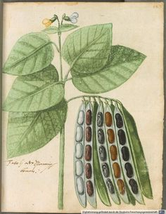 Hortulus Monheimensis, Bavarian State Library