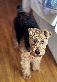 Welsh Terrier can't wait to get her!!