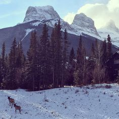 Three Sisters Two Elks One Sunday morning #canmore #wildlife