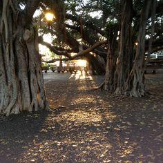 Maui was at this wonderful tree.. check