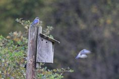 Bluebirds in Nestbox