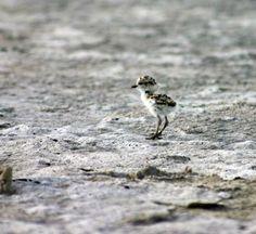 Uno de los pajaritos nacidos en los nidos de A Lanzada.