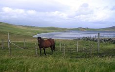 Loch of Benston View of the west bay in the loch of Benston. Fine brown horse and fine brown trout. w:Shetland!