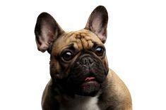 Hund, Säugetier, Wirbeltier, Canidae, Hunderasse, fawn französische Bulldogge, Schnauze, Begleithund, Fleischfresser, Bulldogge, beliebte Hunderasse, Hunderassen für Familien, Hunderasse die sehr beliebt sind in Deutschland und Österreich Russell Terrier, Tightening Face Mask, Effects Of Global Warming, Albert Park, Labradoodle, Australian Shepherd, Chihuahua, French Bulldog, Shit Happens