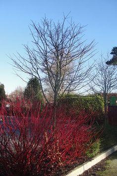 Red dogwood - Cornus alba siberica (Bare Root) Red Dogwood, Area 3, Hedges, Coastal, Nursery, Fruit, Garden, Plants, Garten