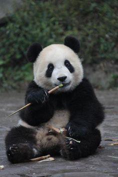 Baby panda... Snack time Photo by Dafna Ben Nun — National Geographic Your Shot