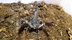 . Scorpion, Animals, Collection, Animales, Animaux, Scorpio, Animal, Animais