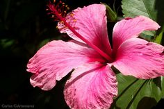Hibiscus, Hibisco o Cayena Rosada