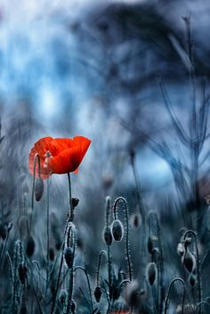 "Photo ""Red"" by Zoltán Koi Bokeh Photography, Happy Paintings, Red Poppies, Flower Photos, Amazing Flowers, Beautiful World, Color Splash, Flower Power, Wild Flowers"