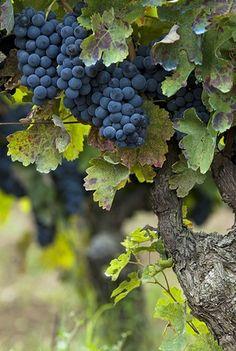 Aglianico del Vulture grapes at Elena Fucci wine Estate - Barile